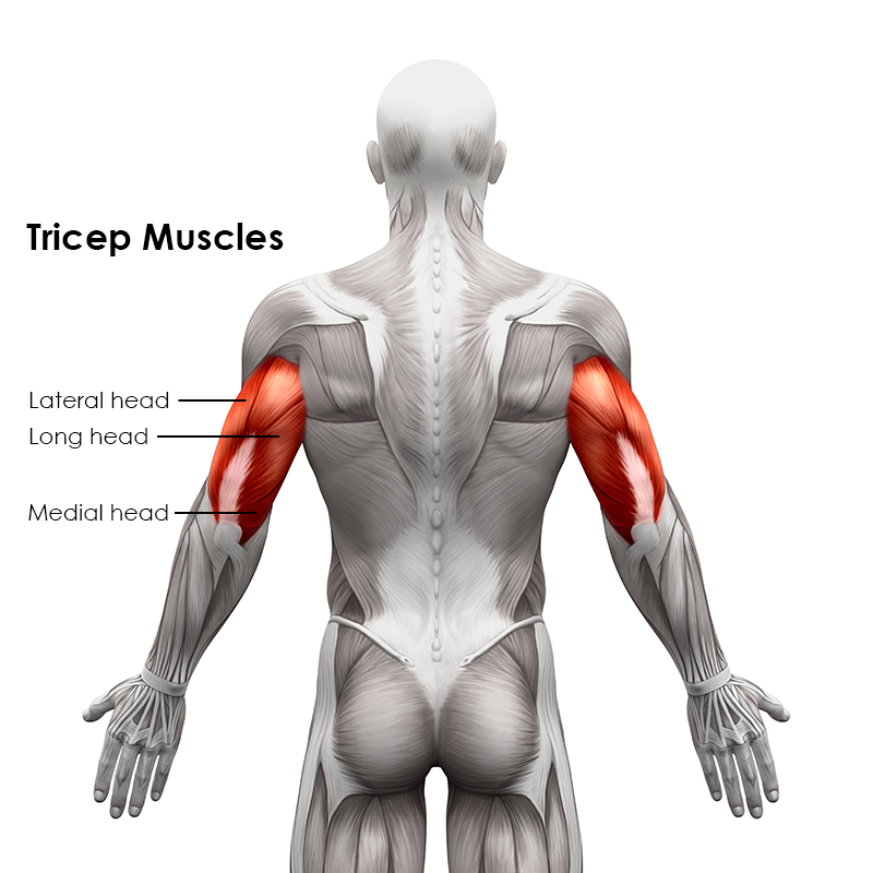 Tricep Muscle Diagram