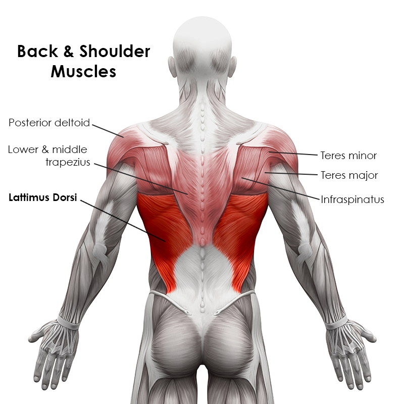Back and Shoulder Muscles