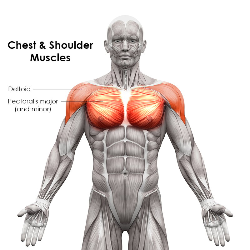 Chest and Shoulder Muscles